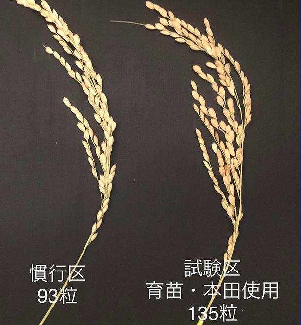 稲の試用実験結果